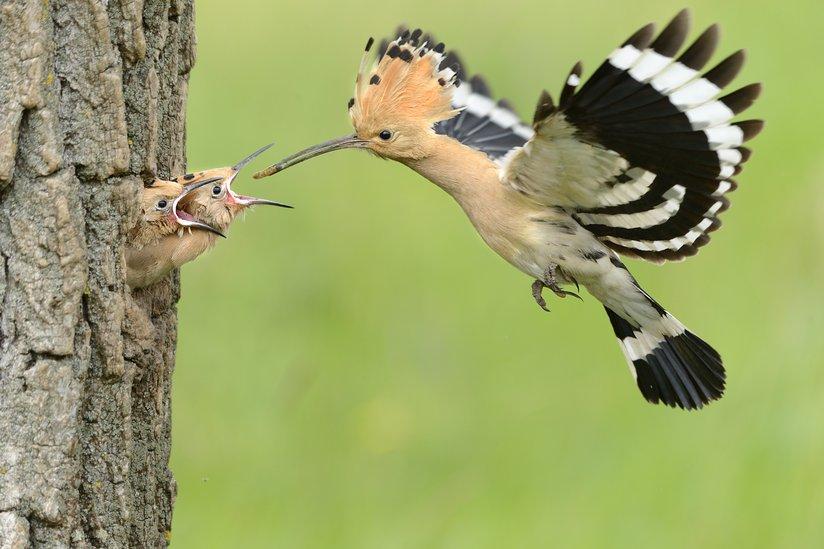 feeding-young.jpg.824x0_q85